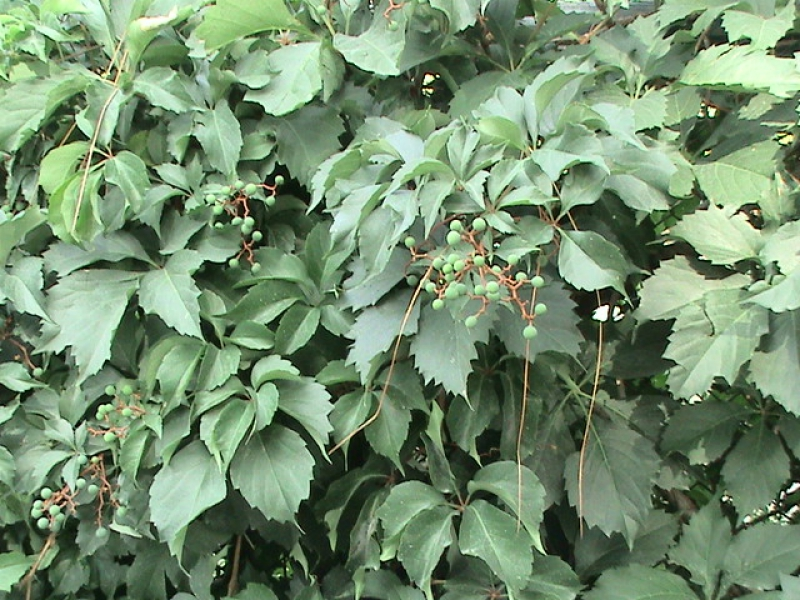 Grapes in Growing process of Green Islamabad