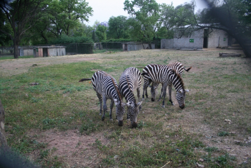 Here are some Zebras who got residential status in Islamabad.